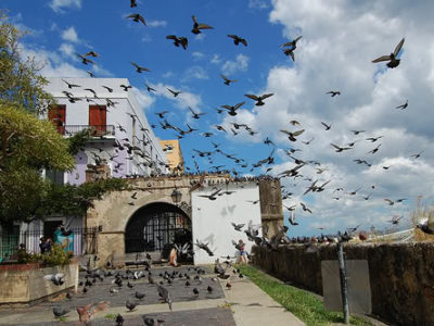 pigeons-of-old-san-juan