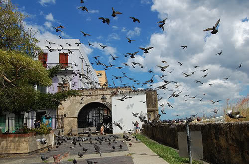pigeons-of-old-san-juan