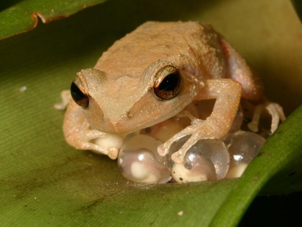 Name Puertorriqueno: Singing Frog Of Puerto Rico